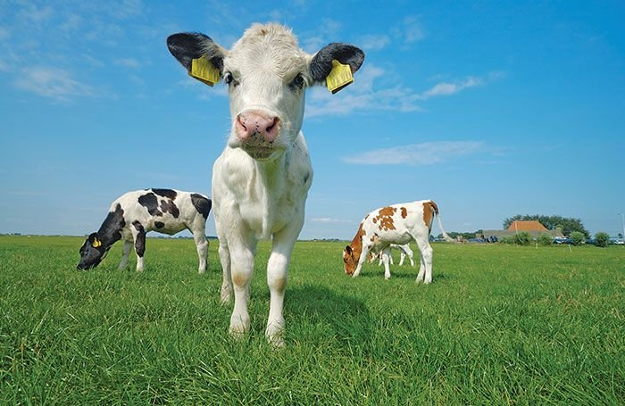 Evaluate a dairy calf milk replacer program in 3 easy steps