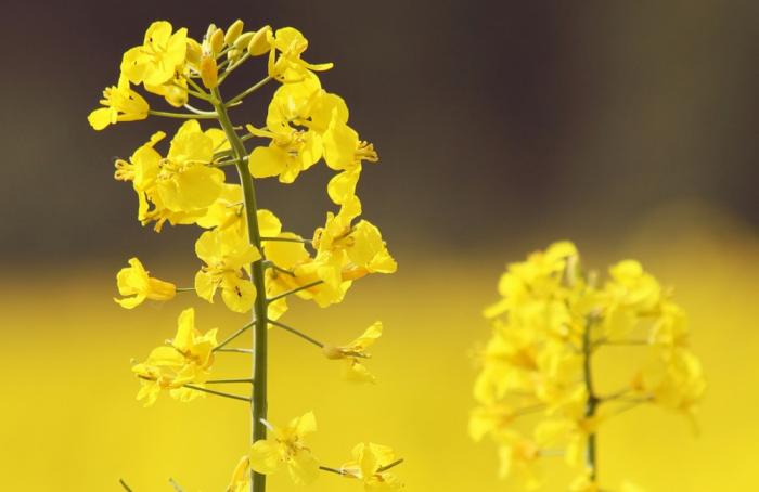 Canada invests $12M to advance canola sector