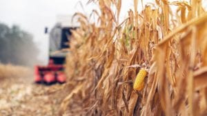 Difficult weather conditions cause widespread mycotoxins