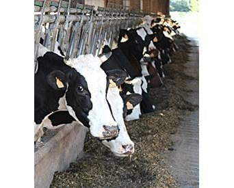 How to maximize microbial protein production by ruminants