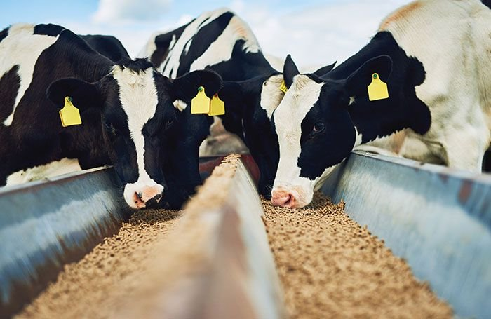 Fatty acids in feed may influence dairy production