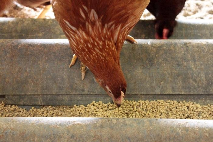 Alternative proteins in layer feeds: What does it take?