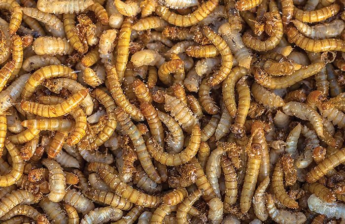 German study on algal, insect proteins in broiler feeds