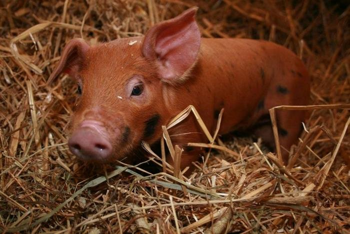 Post-weaning feed intake target for piglets