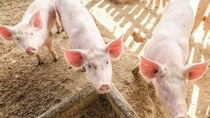 Medium-chain fatty acids: Protecting pigs from pathogens