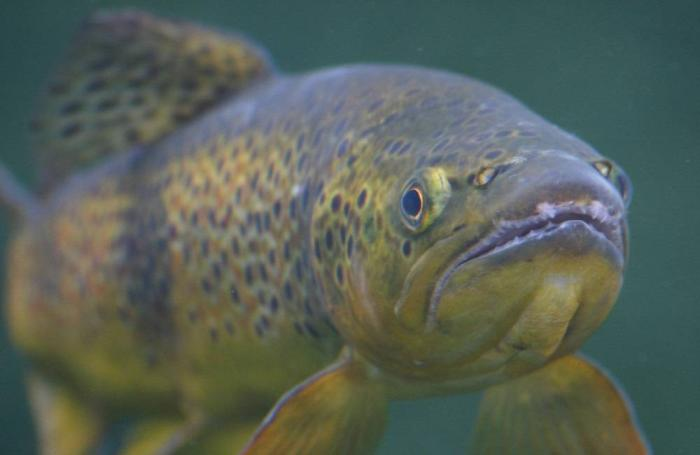 Study: Mixed results for trout fed algae instead of fish oil