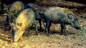 ASF cases in European wild boar pass major milestone