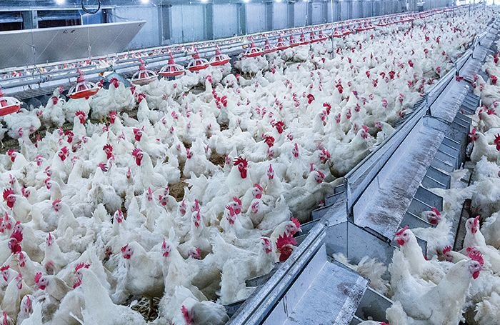 Broiler feed form, particle size assists performance