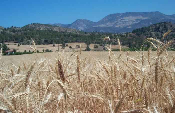 'Unique' circumstances increase wheat use in animal feed