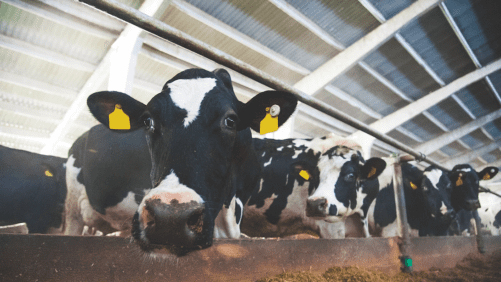 PODCAST: Think differently about transition dairy cows
