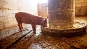 Formulation secrets revealed for modern piglet feeds