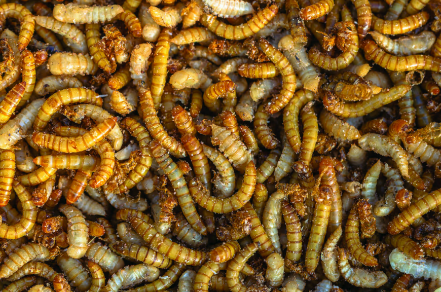 Australia begins exploring safety rules for insect meal
