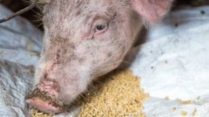 Soy isoflavone reduces swine mortality, raises questions