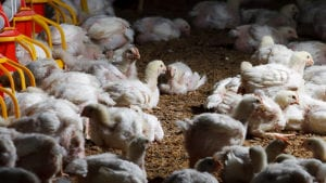Researchers boost poultry immune system with antibodies