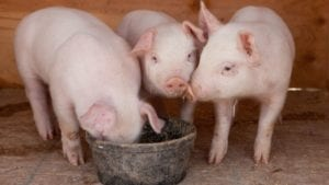 When to use pellets, meal or crumbles for piglets