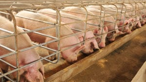 KSU study examines feed options to slow pig growth