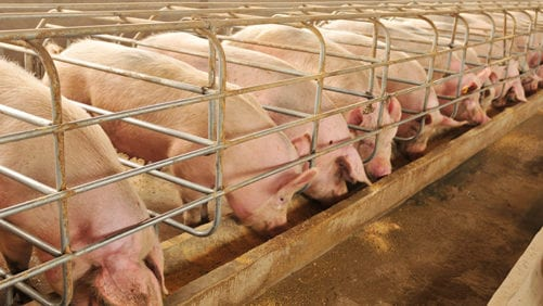 Spread of ASF continues in South African pigs