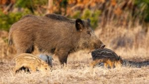 Germany confirms ASF-infected boar outside danger area