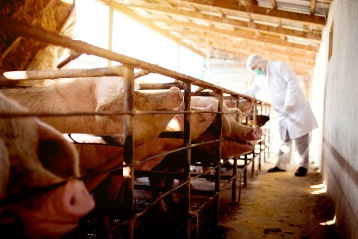 Germany confirms first cases of ASF in domestic pigs