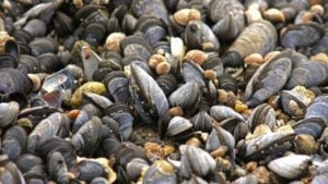 Trial to consider if mussels might replace fish meal
